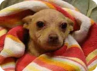 Chihuahua Mix Puppy for adoption in Hampton, Virginia - FRITTER