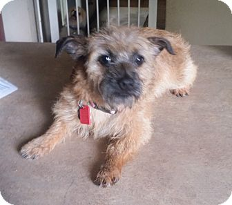 Brussels Griffon Puppy for adoption in conroe, Texas - Buckwheat