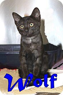 Domestic Shorthair Kitten for adoption in Trevose, Pennsylvania - Wolf