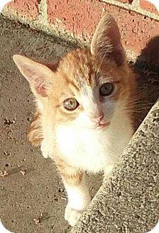 Domestic Shorthair Kitten for adoption in Alamo, California - Tony