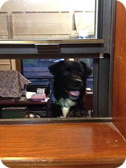 Brittany/Border Collie Mix Dog for adoption in Bartlett, Tennessee - Coco