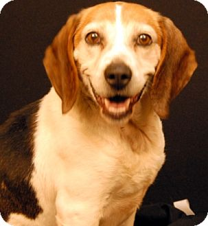 Beagle Dog for adoption in Newland, North Carolina - Deuce
