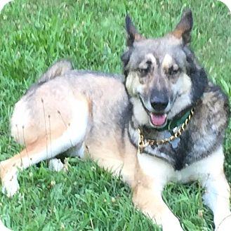 Shepherd (Unknown Type)/Husky Mix Dog for adoption in Detroit, Michigan - Granite AKA Gunner-Adopted!