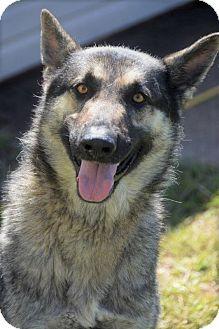 German Shepherd Dog Dog for adoption in Allentown, Pennsylvania - Hoda 💜 ADOPTED!