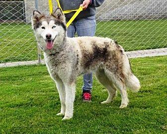 Husky Mix Dog for adoption in Lathrop, California - Harper