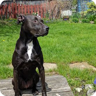 Labrador Retriever/Pit Bull Terrier Mix Dog for adoption in Westfield, New York - Gypsy Girl