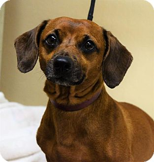 Dachshund Mix Dog for adoption in Gridley, California - Jimmy