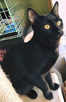 Domestic Shorthair Kitten for adoption in Island Park, New York - Ebee