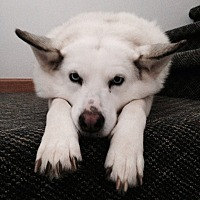 Husky/Spitz (Unknown Type, Medium) Mix Dog for adoption in Columbia, Tennessee - Narcissa (Cissa) Ma'am