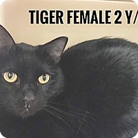 Adopt A Pet :: Tiger - Brandon, FL