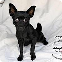 Adopt A Pet :: Pickles - Shawnee Mission, KS