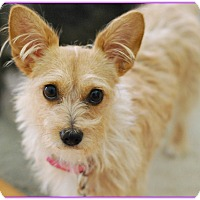 Adopt A Pet :: Minnie Sweet and Well Mannered - Seattle, WA