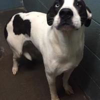 Adopt A Pet :: Elvis - Clarkesville, GA