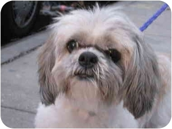 Shih Tzu Dog for adoption in Long Beach, New York - Gabby