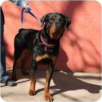 Rottweiler Dog for adoption in Denver, Colorado - Jacob
