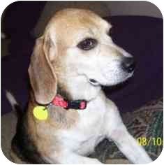 Beagle Mix Dog for adoption in Phoenix, Arizona - Lyric