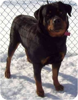 Rottweiler Mix Dog for adoption in Howes Cave, New York - Sasha