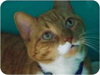 Domestic Shorthair Cat for adoption in Secaucus, New Jersey - Big Red