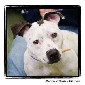 Pit Bull Terrier Dog for adoption in Warren, Pennsylvania - Vodka
