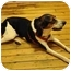 Photo 3 - Treeing Walker Coonhound/Foxhound Mix Dog for adoption in Brooklyn, New York - Taylor
