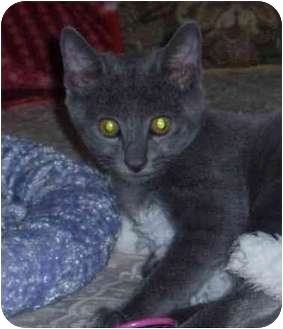 Russian Blue Kitten for adoption in San Diego/North County, California - Caesar