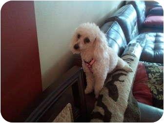 Poodle (Miniature) Dog for adoption in Pembroke pInes, Florida - Lola