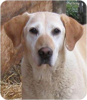 Labrador Retriever Mix Dog for adoption in Bonners Ferry, Idaho - Jade