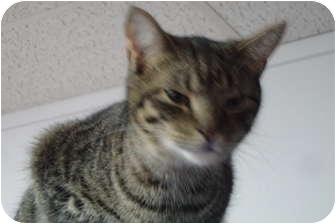 Domestic Shorthair Cat for adoption in Hamburg, New York - Canyon
