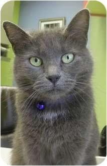Domestic Shorthair Cat for adoption in Virginia Beach, Virginia - Cookie