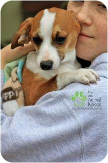 Dachshund/Rat Terrier Mix Puppy for adoption in Mission Viejo, California - Prince Charming