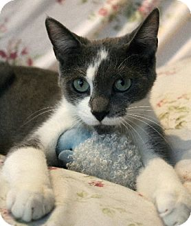 Domestic Shorthair Cat for adoption in Chicago, Illinois - Daisy May