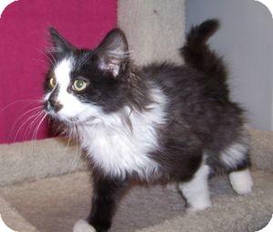 Domestic Mediumhair Kitten for adoption in Colorado Springs, Colorado - K-Samples1-Panda