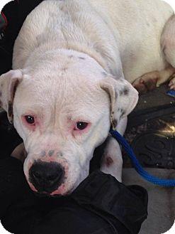 American Bulldog Mix Dog for adoption in Milan, Michigan - Charlie