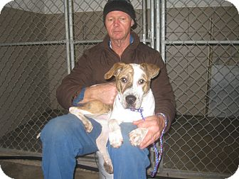 Terrier (Unknown Type, Medium)/Boxer Mix Dog for adoption in Zanesville, Ohio - #018-14  ADOPTED!