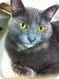 Domestic Shorthair Cat for adoption in Warren, Michigan - Willow