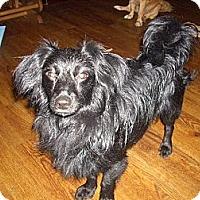 Adopt A Pet :: Midnight - Morristown, TN