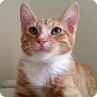 Domestic Shorthair Kitten for adoption in Mountain Center, California - Arpels