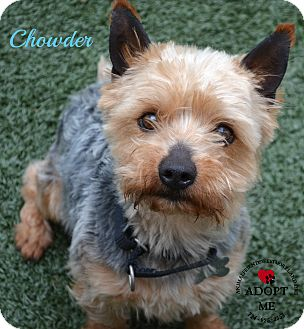 Yorkie, Yorkshire Terrier Mix Dog for adoption in Youngwood, Pennsylvania - Chowder