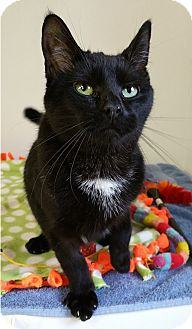 Domestic Shorthair Cat for adoption in Albion, New York - Baxter