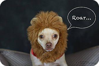 Chihuahua Mix Dog for adoption in Chandler, Arizona - Chutki