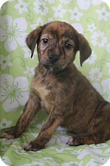 Labrador Retriever/Boxer Mix Puppy for adoption in Southington, Connecticut - Molly