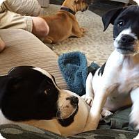 Adopt A Pet :: Gabby  & Grayson - CHICAGO, IL