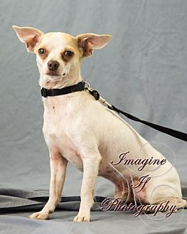 Chihuahua Dog for adoption in Crescent, Oklahoma - Benny