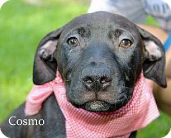 Labrador Retriever/Boxer Mix Puppy for adoption in Marietta, Georgia - Cosmo