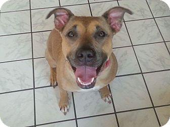 Pit Bull Terrier/Shepherd (Unknown Type) Mix Dog for adoption in Aurora, Ohio - Roxy