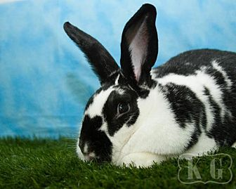 English Spot for adoption in Pflugerville, Texas - Ultima