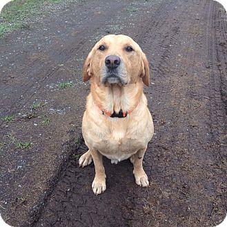 Labrador Retriever Dog for adoption in Salem, Oregon - Gunner