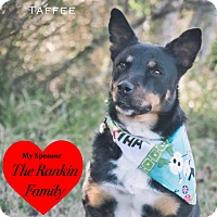 Lancashire Heeler/Terrier (Unknown Type, Medium) Mix Dog for adoption in San Leon, Texas - Taffee