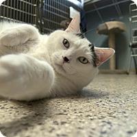 Adopt A Pet :: Chippi - Scituate, MA