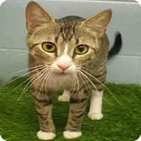 Domestic Mediumhair Cat for adoption in Peoria, Illinois - WILLOW